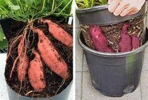 Süßkartoffel züchten