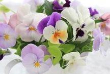 Pansies - Viooltjes - Violets