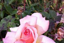 Roses / Beautiful Flowers