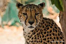 Пятнистое, желтое, полосатое/Spotted, yellow, striped / большие кошки/big cats