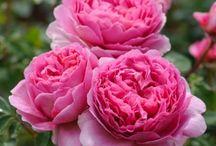 Nádhera růží