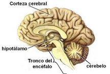 Anatomía / el SNC