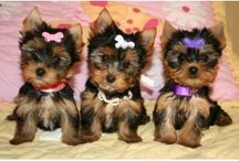 Yorkie Savvy / All About Yorkshire Terriers