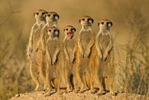 meerkats so cute.