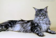 Maine Coon - Black Silver Blotched / #Mainecoon #Black #Silver#Blotched #Cats