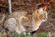African Wildcats