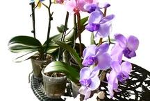 Deborah's Orchids