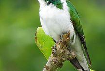 Birds.Cockoo