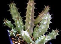 Cactus&Succulent&Bonsai