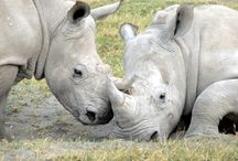 """Rhinos / by Jim """"Rhino"""" Reincke"""