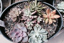 Succulents & Cacti / Showcasing the nursery's sedums, echiverias, aloes and other drought tolerant plants.