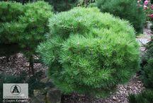 Pinus nigra 'Bambino'
