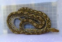 Reptile lovers And Animals / Reticullatus lover indonesia •Varanatic Indonesia •N-Reptile Indonesia