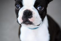 Boston Bull Terrier /  Emily's Favorite Pup!