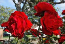 Roseland / The Queen of Flowers, the Rose has been grown and loved by man from earliest times.