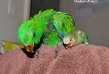 Shadow's Aviary's Lovebirds