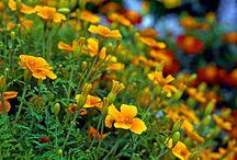 kvetina proti háďatku