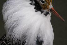 Birds - Europe/Asia/Pacific Islands