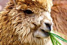 Camelidos Andinos / Información de Cusco