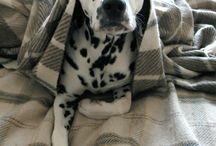 My future dog - Dalmatian