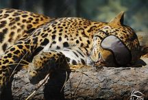 Wild Cats / Lions, Leopards and other wild Cats