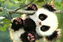 Pandaaa
