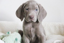 I <3 My Weimaraner / by Brenda Armstrong