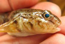 Gobius niger (mustatäplä tokko) / kala, fish, detection, Black goby