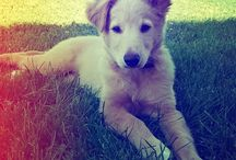My puppy / This is my love, my puppy. Labrador retrievwr with German shepherd dog <3