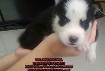 Jual Anjing Siberian Husky Blue Eyes, Big Bones (jantan 1)