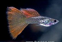 Guppies & Endlers / The myriad colors and varieties of guppies, guppy, and endlers. / by Debbie Chandler