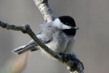 Birds / Native Birds of Virginia