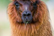 z Animals Camellids   Bactrian Camels    Dromedary  Camels    Alpacas    Llamas
