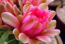 Кактусы/Cactus