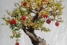 Bonsai Pomergranate