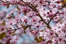 Cherry Blossom / by Anna Nuttall