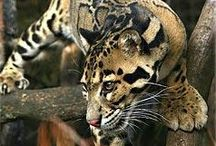 Clouded Leopard Art