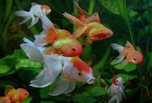 Aquarium Fish - Goldfish / Goldfish are lovely and quite friendly creatures. Here are some tips to care for them and keep them healthy and happy