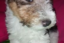 OTTO / Fox terrier