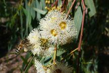 Red Gum / Eucalyptus camaldulensis