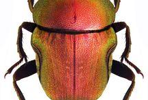 scarabaeidae coprofagi s. l.