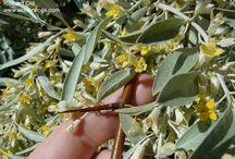 eleagnus angustifolia salcioara mirositoare