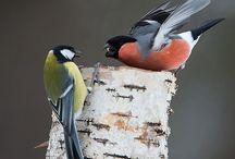 Ylt/linnut