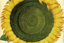 Sunflower - Girasole