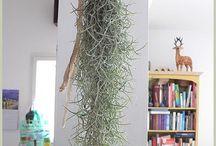 Airplant / Airplants エアプランツ green 緑 植物 plant plants