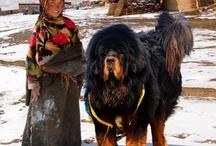 Tibetan mastif