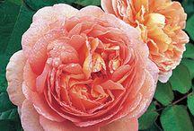 Roses / by Backyard Gardener