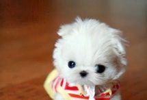 Teacup puppy / Cute puppies