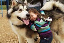 i love sibirsky husky