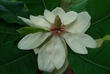 Ginter 'Spicy White' Magnolia